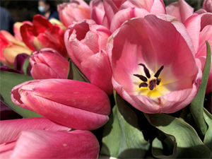 Close-up shot of some pink tulips.