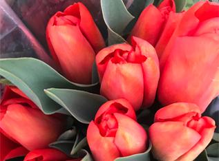 Orange tulips in the sun